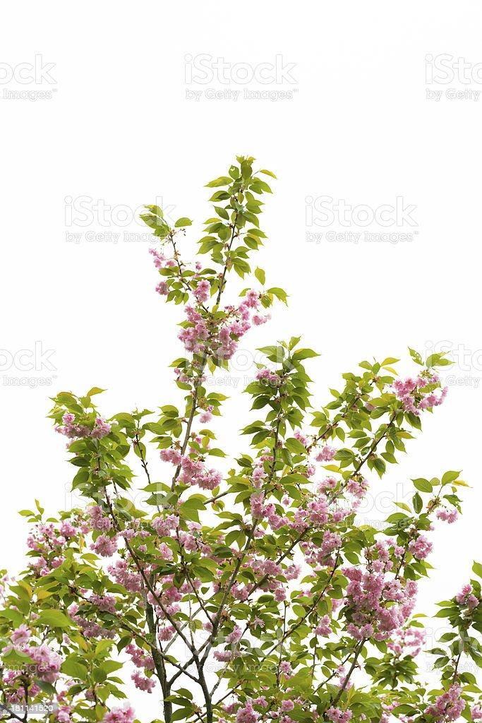 Cherry Blossom Isolated on White - XXXL stock photo