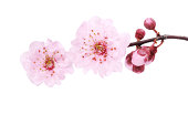 Simple pink cherry blossom on white.