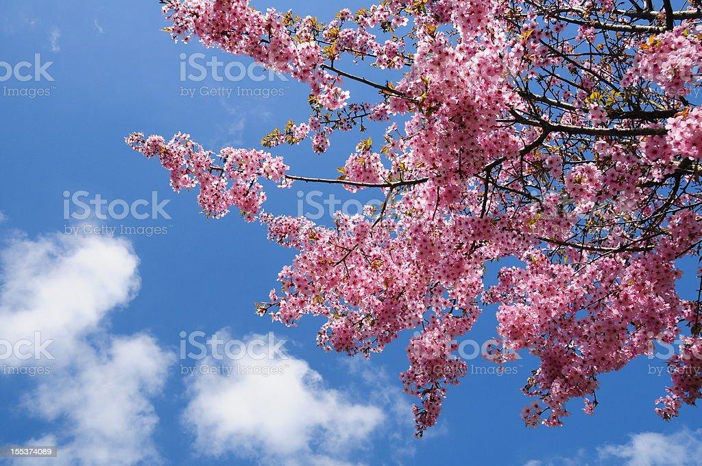 Cherry Blossom, Jersey. royalty-free stock photo