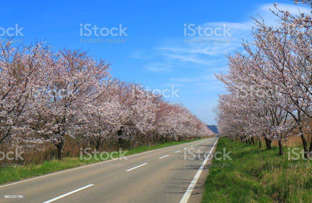 Cherry blossom Kanazawa Japan photo libre de droits