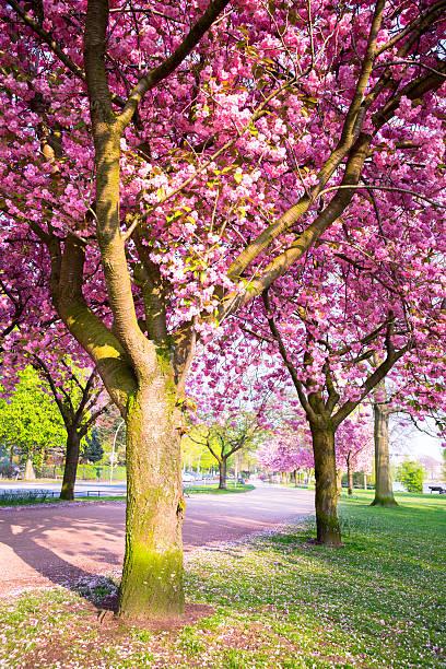 cherry blossom nahe der alster See – Foto
