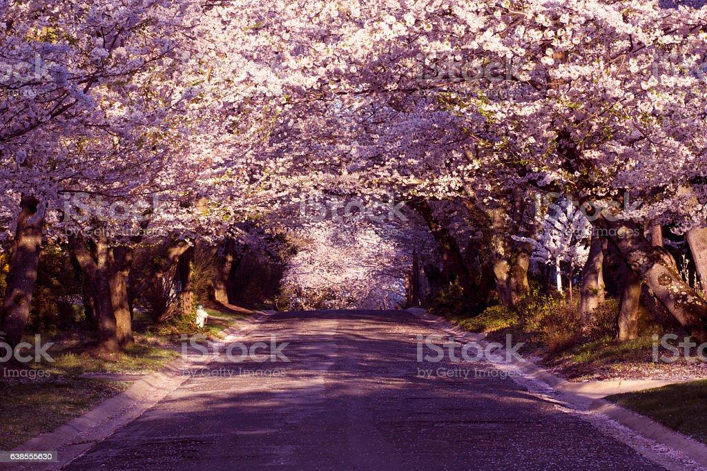 Cherry blossom neighborhood stock photo