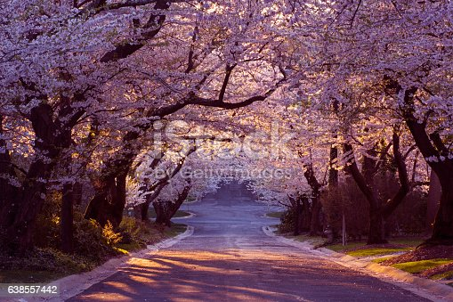 Suburban road in tunnel of cherry blossoms - Washington, DC