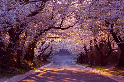 Cherry blossom neighborhood