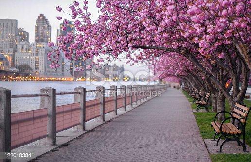 Cherry blossom new york