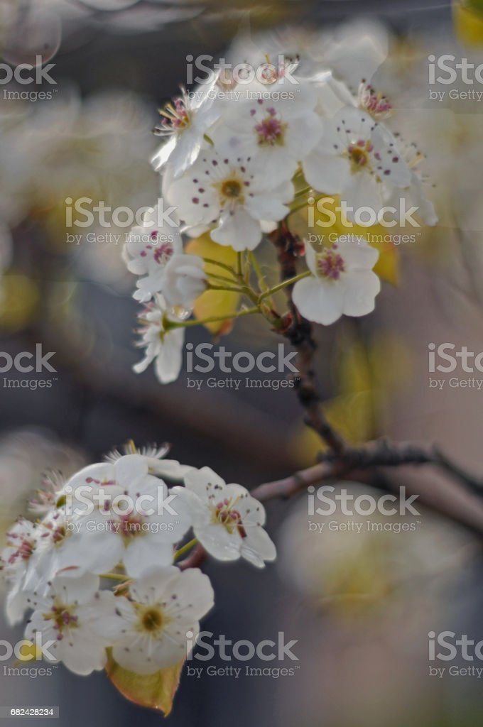 Cherry blossom New York royalty-free stock photo