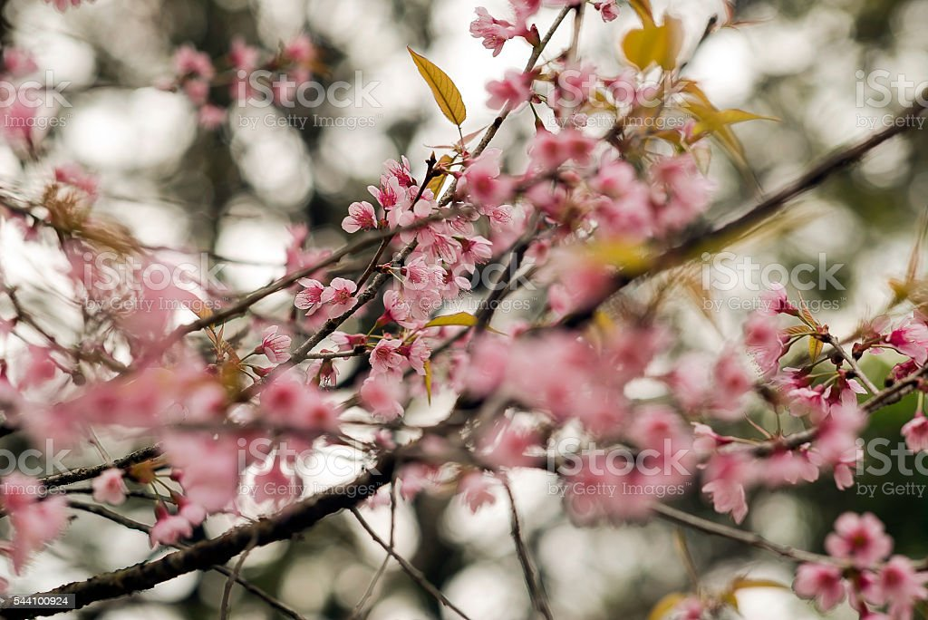Cherry Blossom Northern Thailand stock photo