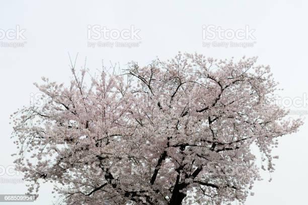 Cherry blossom of full bloom with copy space picture id668509954?b=1&k=6&m=668509954&s=612x612&h=89wryigjmidedp9izihq0k9dd7qpwj0eh4qxc4di9ai=