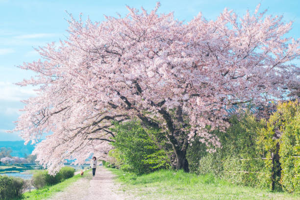 Cherry Blossom of Kamogawa River in Kyoto, Japan. stock photo