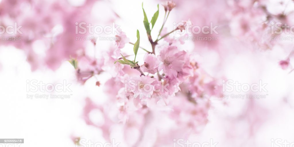 Cherry Blossom of Kyoto Botanical Garden during the spring in Kyoto, Japan. stock photo