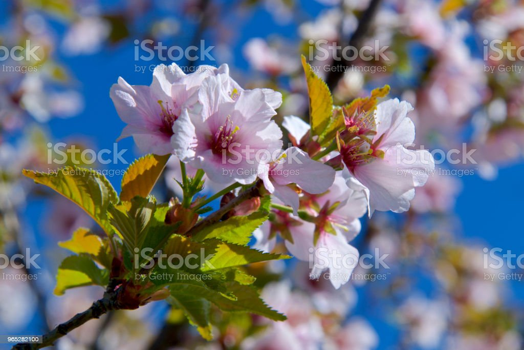 cherry blossom on a sunny day zbiór zdjęć royalty-free