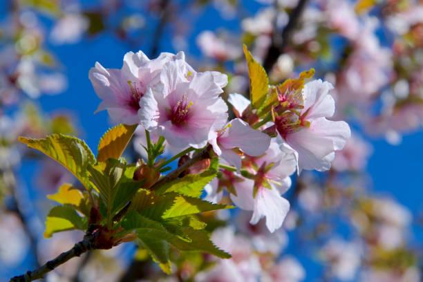 cherry blossom on a sunny day stock photo
