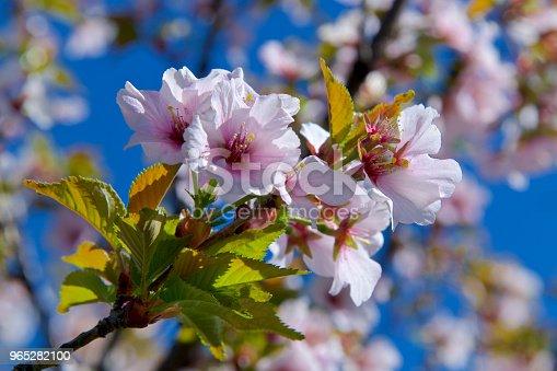 Cherry Blossom On A Sunny Day - Stockowe zdjęcia i więcej obrazów Bez ludzi