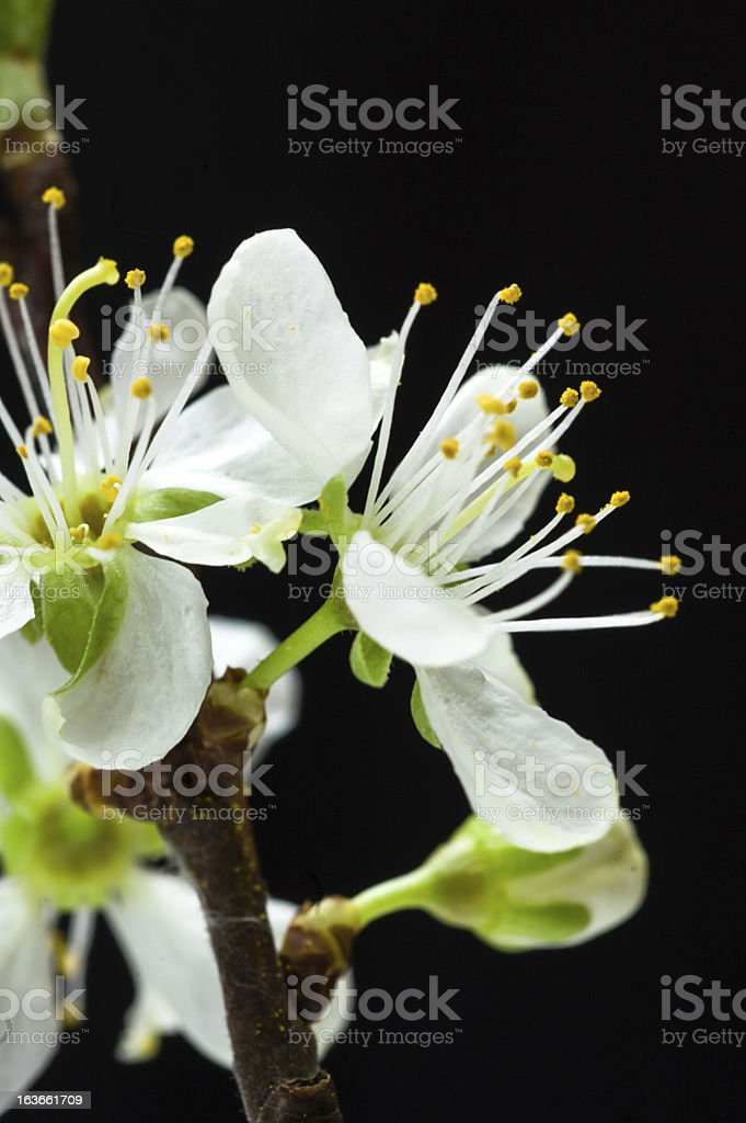 Cherry blossom on black background royalty-free stock photo