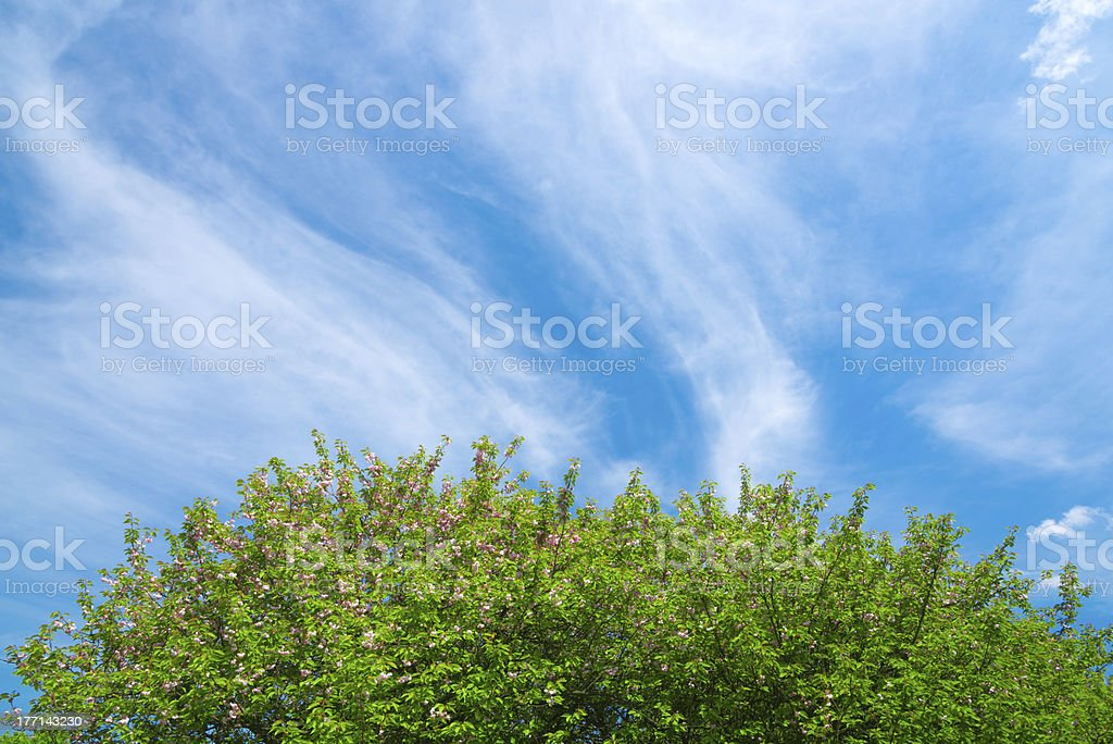 Cherry Blossom on Blue Background - 36 Mpx royalty-free stock photo