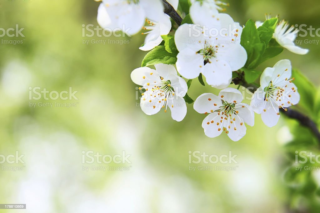 cherry blossom on blurred green stock photo