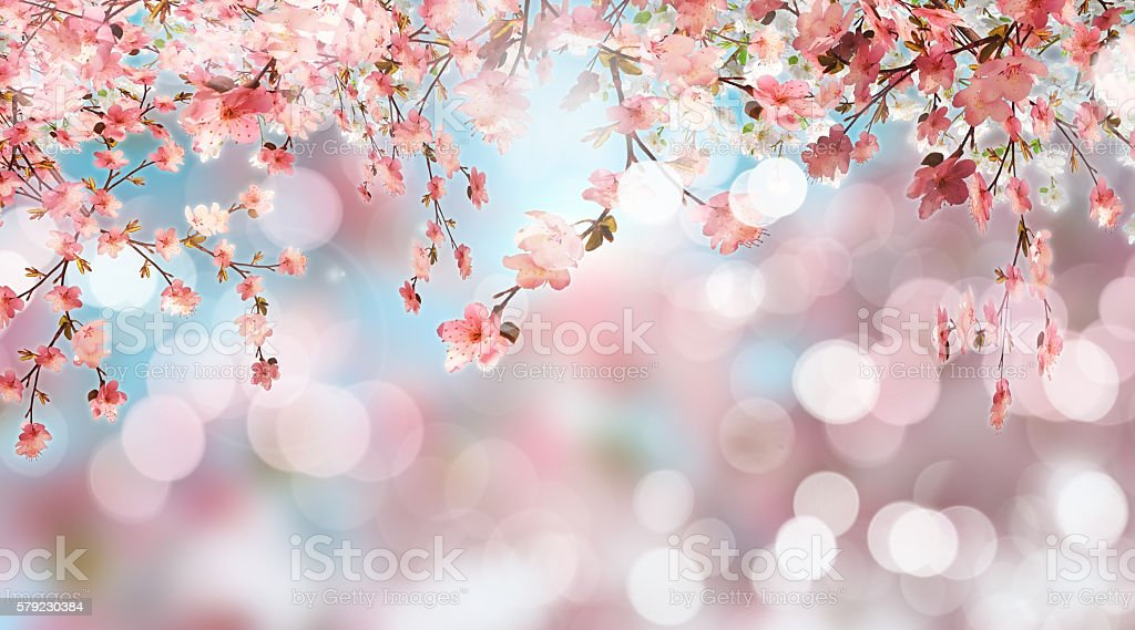 Cherry blossom on defocussed background stock photo