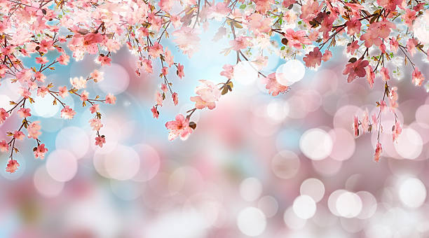 cherry blossom on defocussed background - blossom stock pictures, royalty-free photos & images