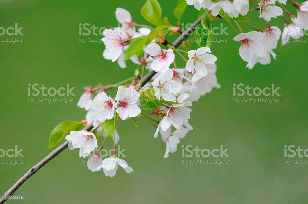 Cherry blossom on green royalty-free stock photo