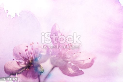 Cherry Blossom on watercolored background