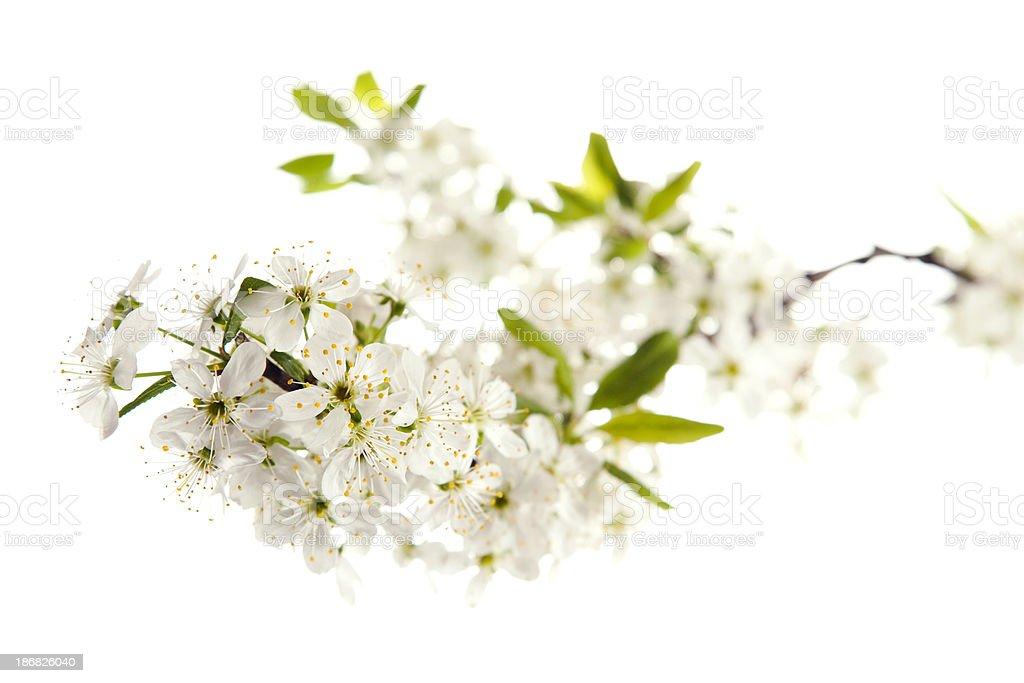 Cherry blossom on white royalty-free stock photo