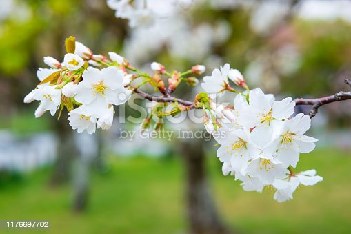 Cherry blossoms are a symbolic flower of the spring, a time of renewal, and the fleeting nature of life.