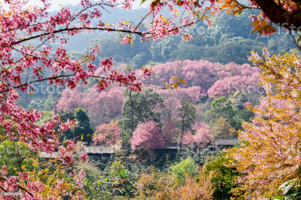 Cherry blossom or sakura flowers with blue sky in Chiangmai Thailand stock photo