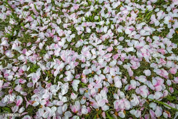 Cherry blossom petals falling on the grass picture id1128887624?b=1&k=6&m=1128887624&s=612x612&h=ttgnfoaoxgb62f8bhrfx hihumoydwdxflzqdii9ru8=