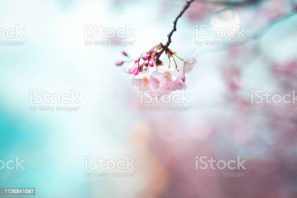 Cherry blossom picture id1126841567?b=1&k=6&m=1126841567&s=612x612&h=yrkccuoqaj6vq gxynqvvqu1iisfgptnbjlixetlt2o=