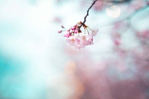 cherry blossom - bloesem stockfoto's en -beelden
