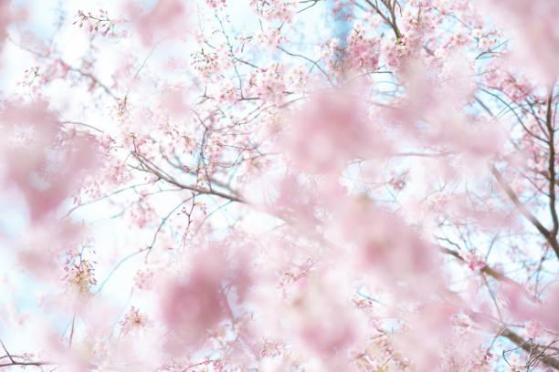 Kirschenblüte – Foto