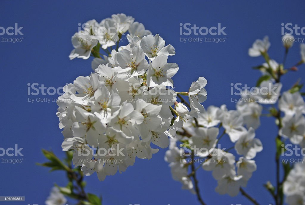 Cherry blossom (close-up) royalty-free stock photo
