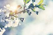 istock Cherry Blossom 1297835513
