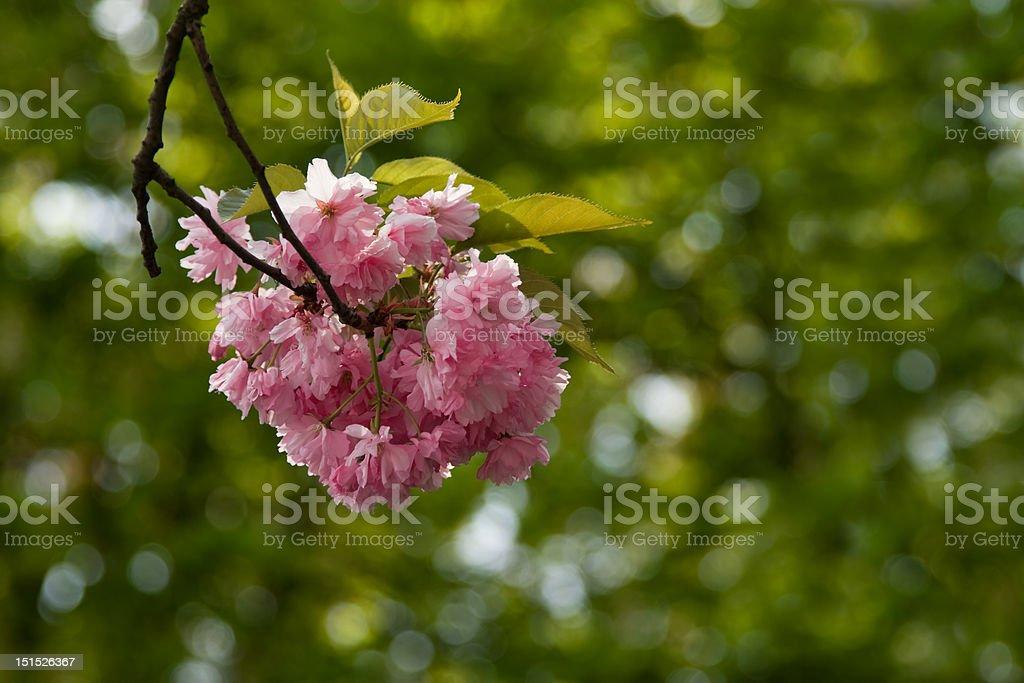Flor de cerezo - foto de stock