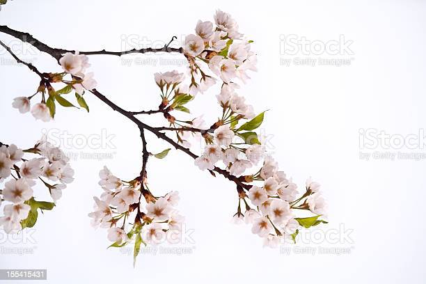 Cherry blossom picture id155415431?b=1&k=6&m=155415431&s=612x612&h=m2zdxx1 invuvkc4muxbiznrc6mcd4g28io5r1fd10q=