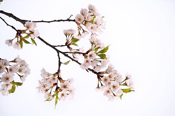 桜の花 - 枝 ストックフォトと画像