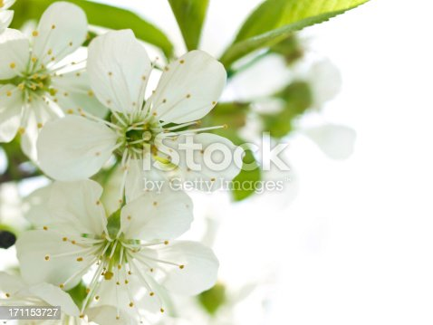 istock Cherry blossom 171153727