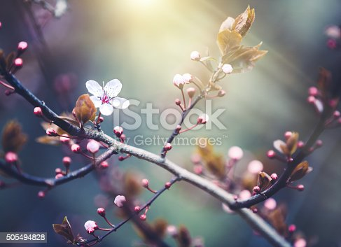 Colorful spring background with blooming cherry branch.
