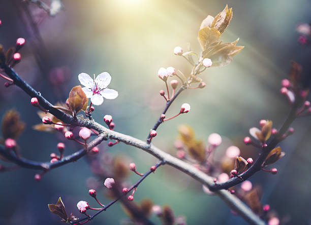 cherry blossom - blossom stock pictures, royalty-free photos & images