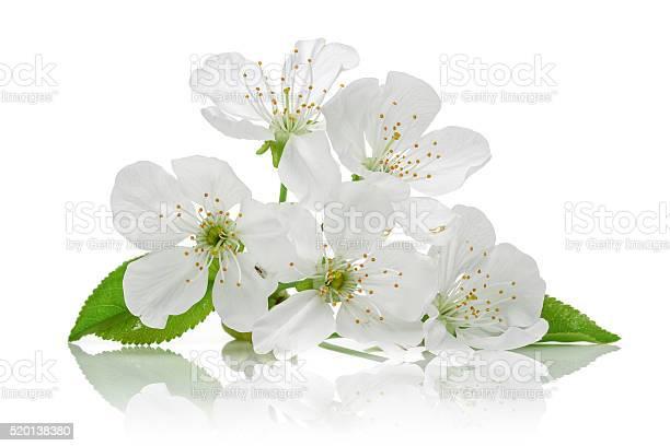 Cherry blossom picture id520138380?b=1&k=6&m=520138380&s=612x612&h=jlyqmcuwjlj3xhbvilfkngu4r5s1zebzvqdw gvjeny=