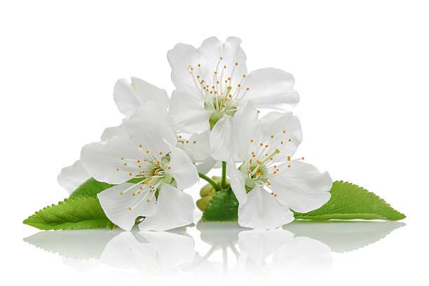 벚꽃 - 암술 뉴스 사진 이미지