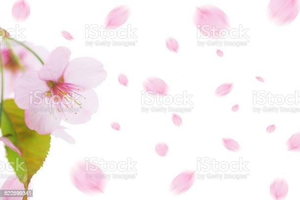 Cherry blossom picture id522599341?b=1&k=6&m=522599341&s=612x612&h=xgqshbx3pq1tzaow3u3xlv44rxk4lxynb yzmin4bn0=