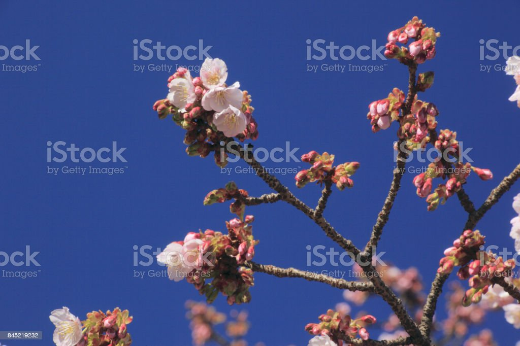 Cherry blossom. stock photo