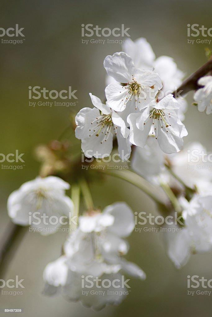 Fiore di ciliegio foto stock royalty-free