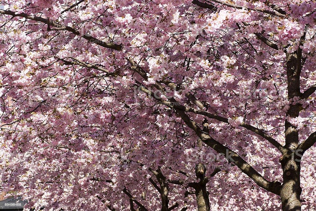 Cherry blossom royaltyfri bildbanksbilder
