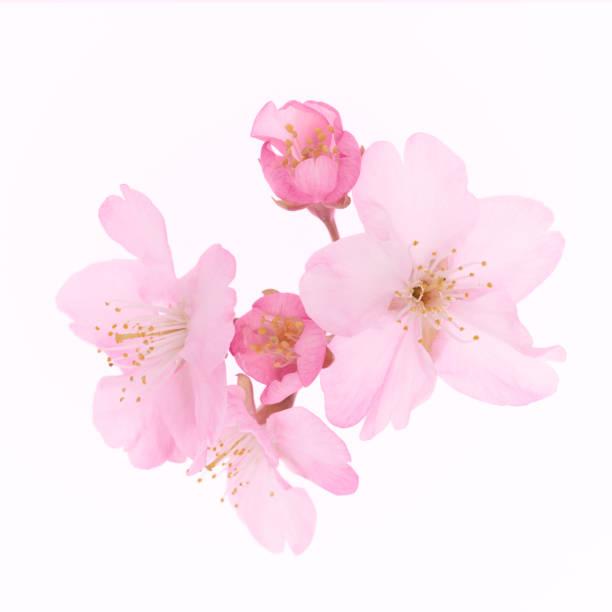 cherry blossom  - kirschblüte stock-fotos und bilder