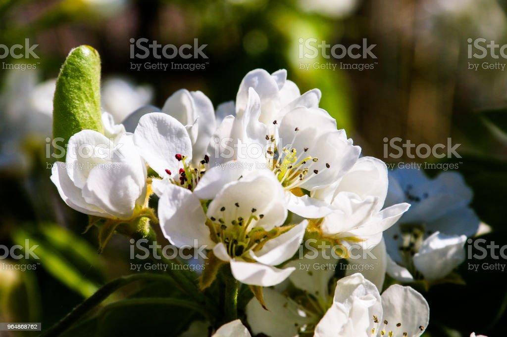 櫻花 - 免版稅大自然圖庫照片