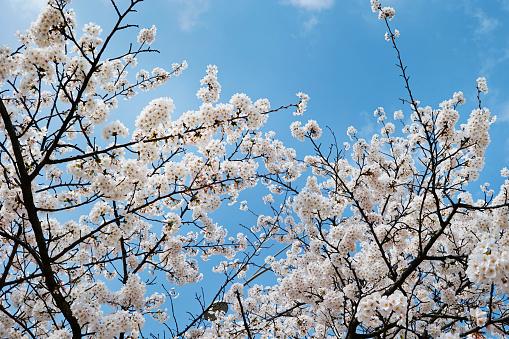 Cherry Blossom - zdjęcia stockowe i więcej obrazów Bez ludzi