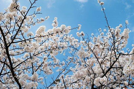 Cherry Blossom - Stockowe zdjęcia i więcej obrazów Bez ludzi