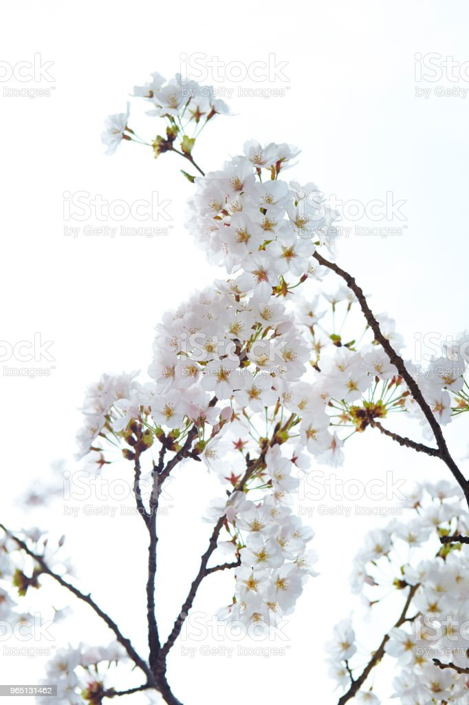 Cherry blossom royalty-free stock photo